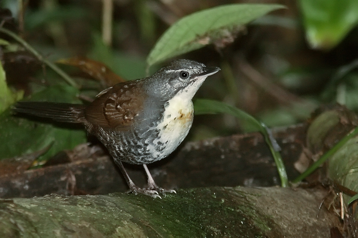 Amazônia National Park- Rusty-belted Tapaculo
