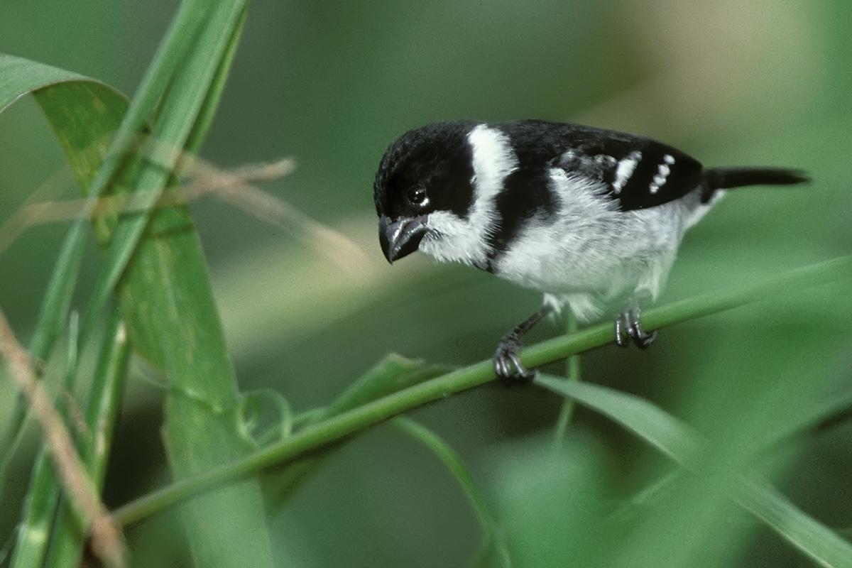 Amazônia National Park- Wing-barred Seedeater