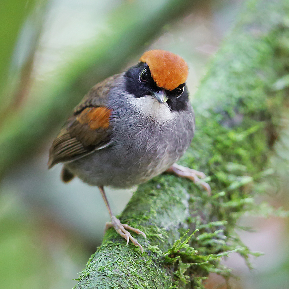 Atlantic Forest - Black-cheeked Gnateater