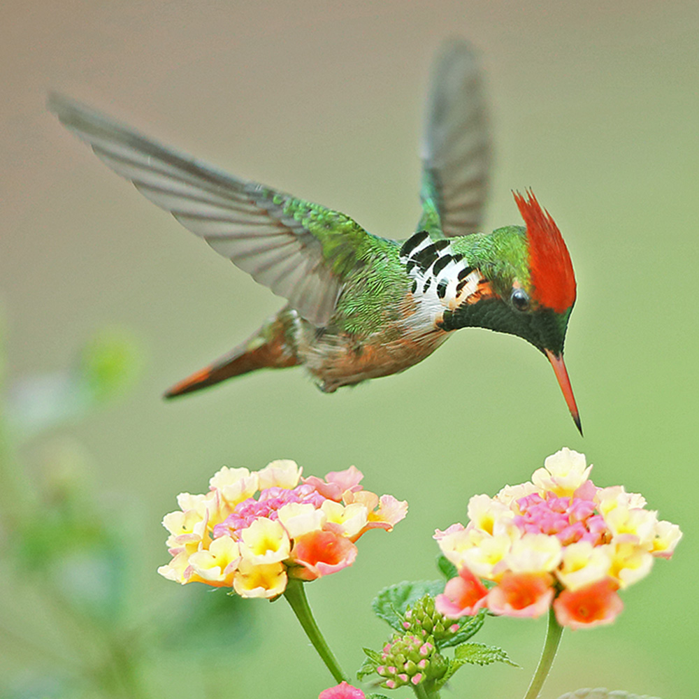 Atlantic Forest - Frilled Coquette