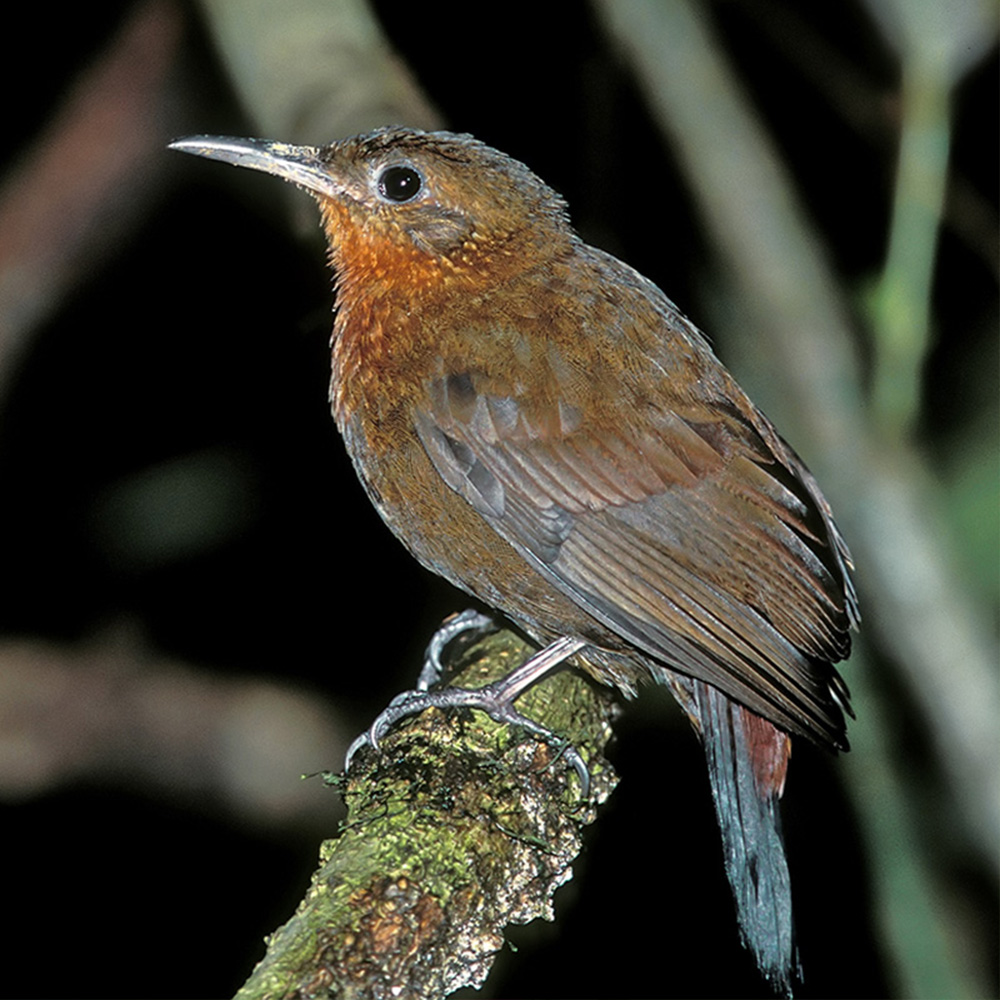 Atlantic Forest - Tawny-throated Leaftosser