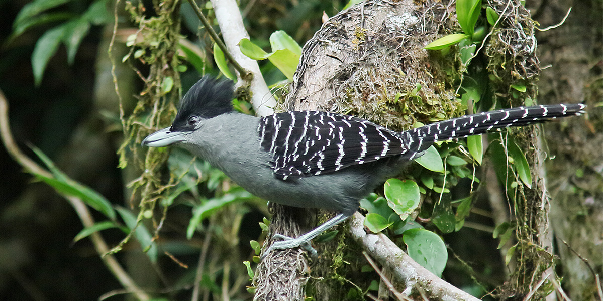 Atlantic Forest - Giant Antshrike