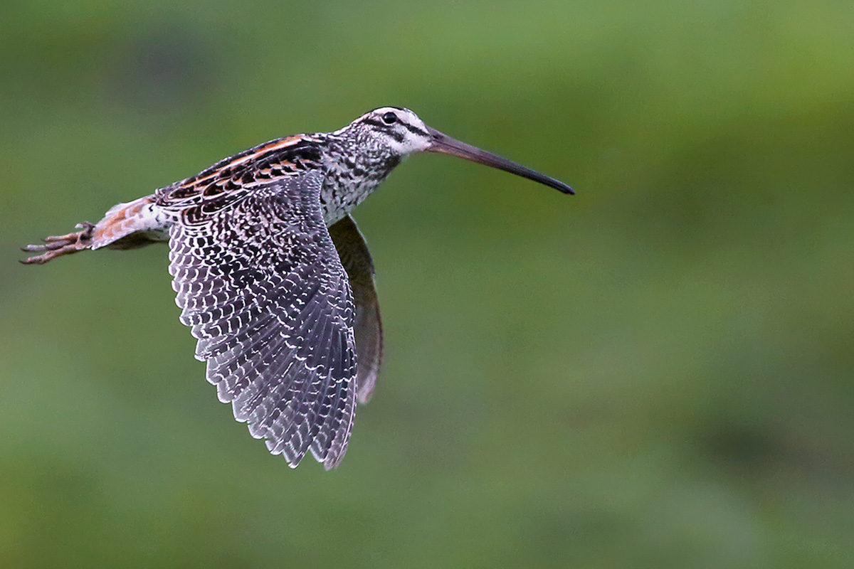 Atlantic Forest - Giant Snipe