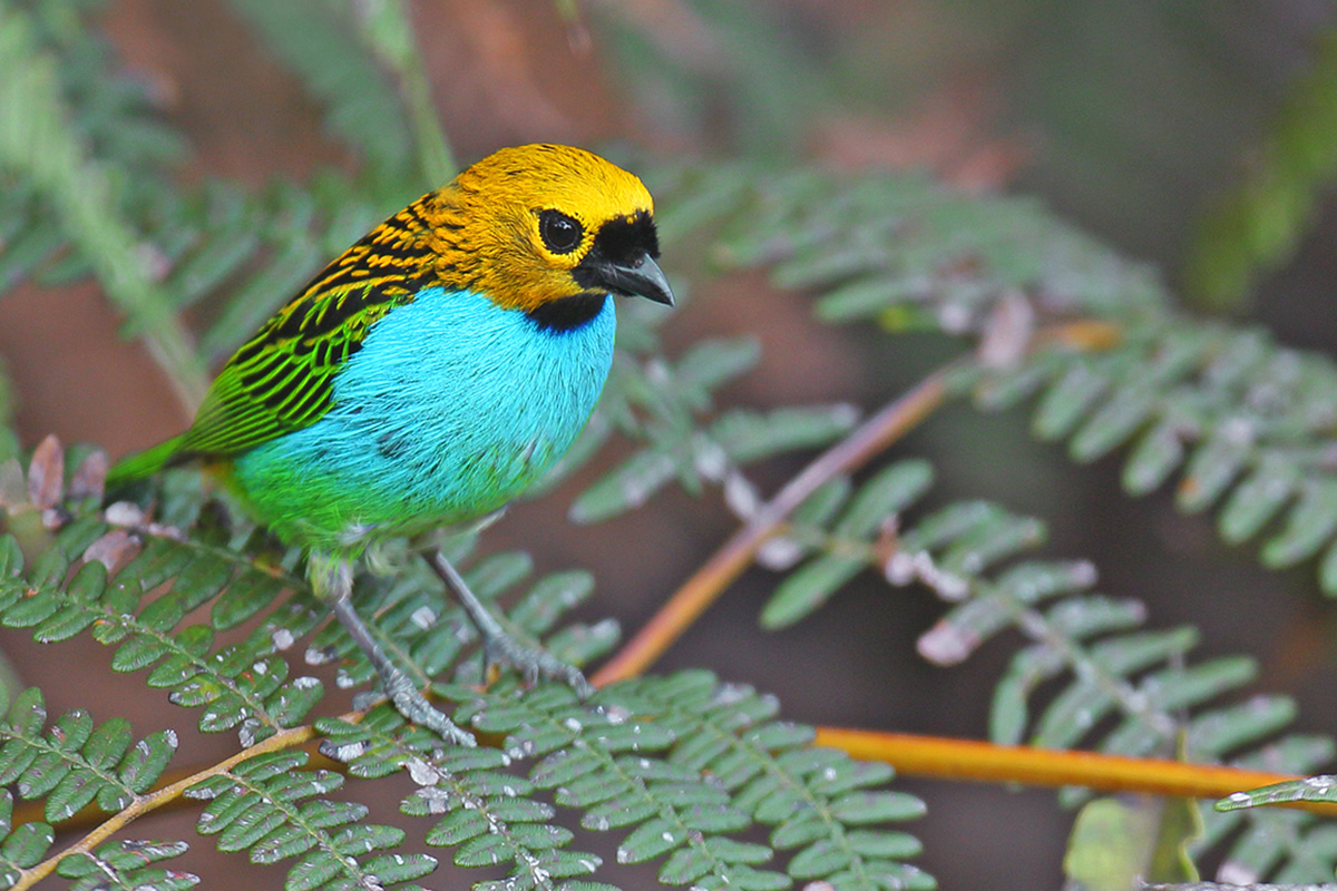 Atlantic Forest - Gilt-edged Tanager