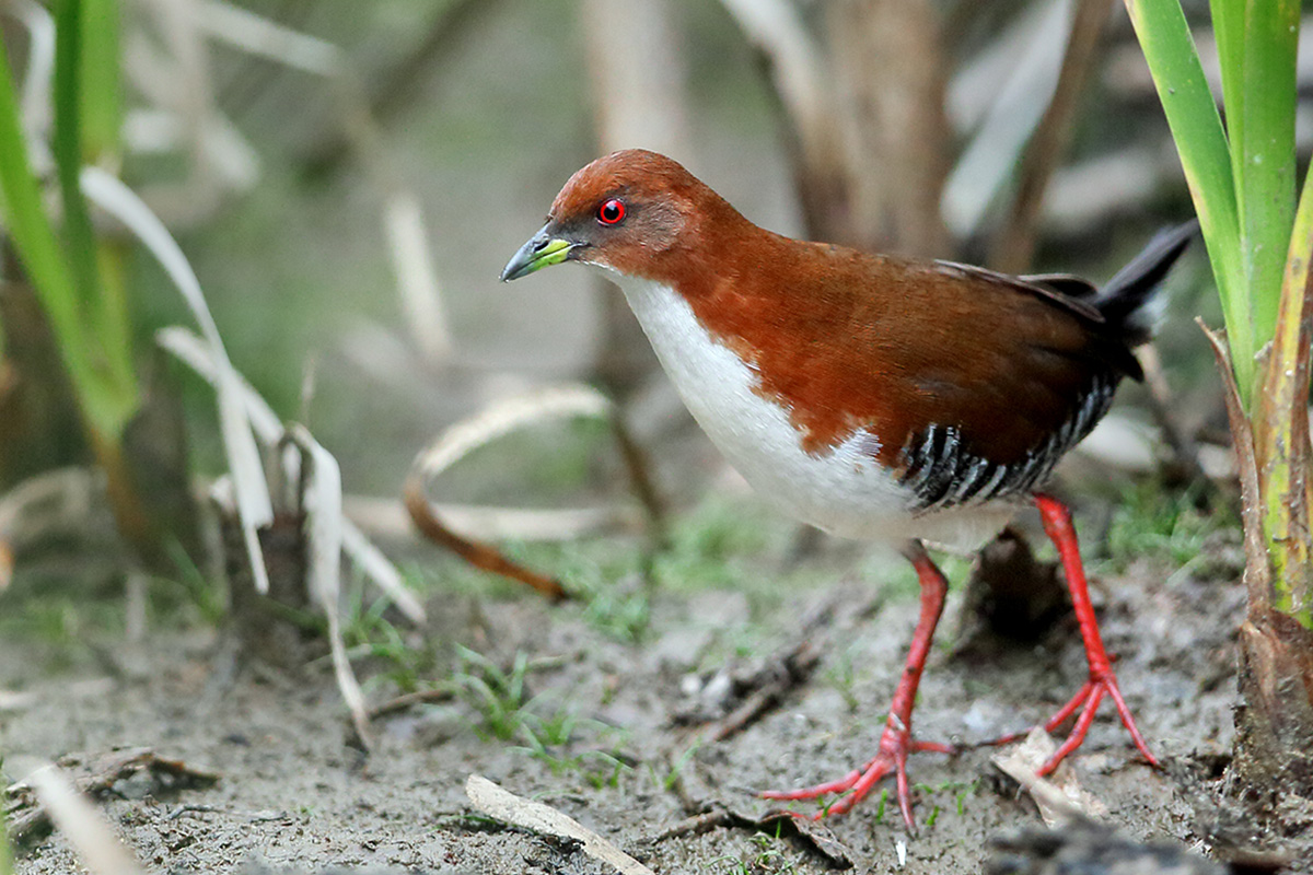 Atlantic Forest - Red-and-white Crake