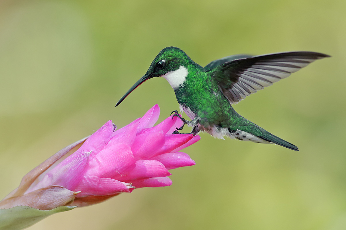 Atlantic Forest - White-throated Hummingbird