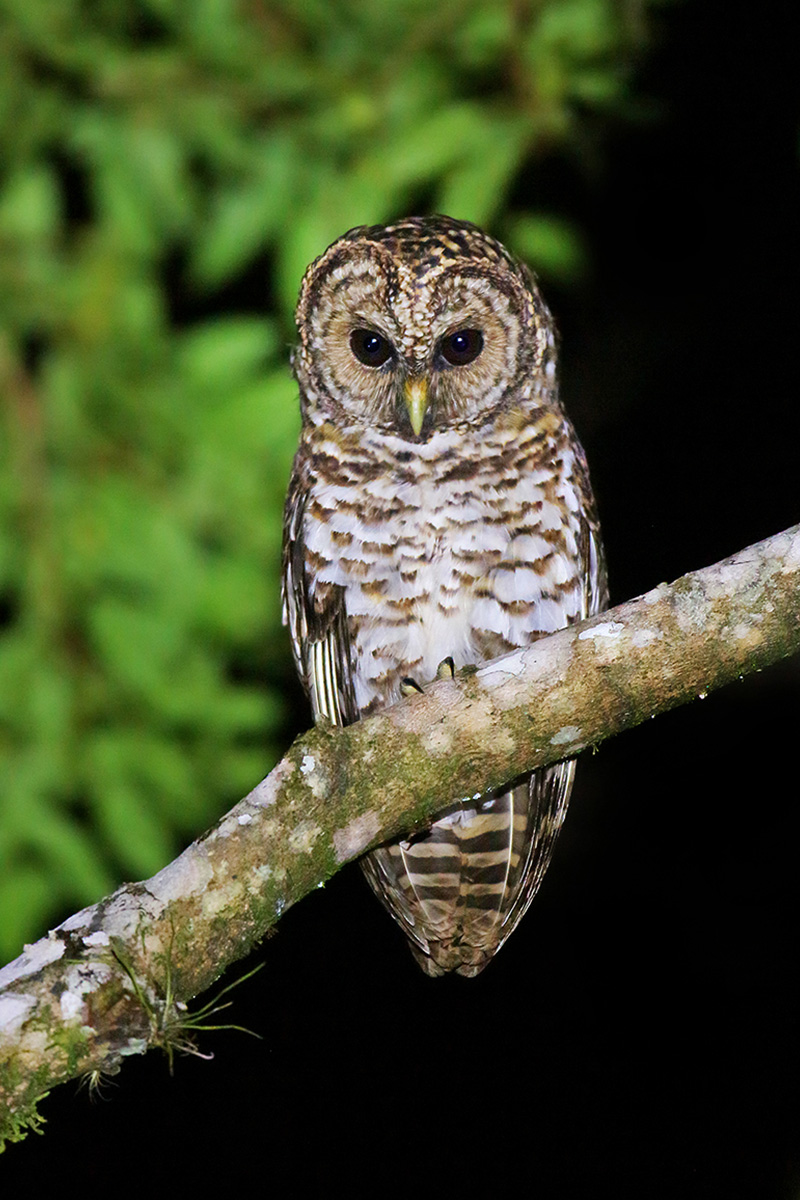 Atlantic Forest - Rusty-barred Owl