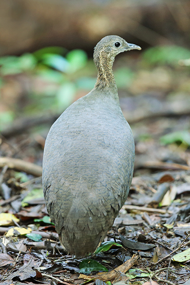 Atlantic Forest - Solitary Tinamou