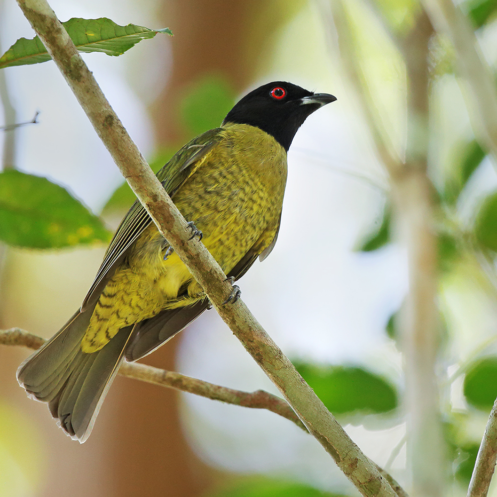 Espírito Santo State - Black-headed Berryeater