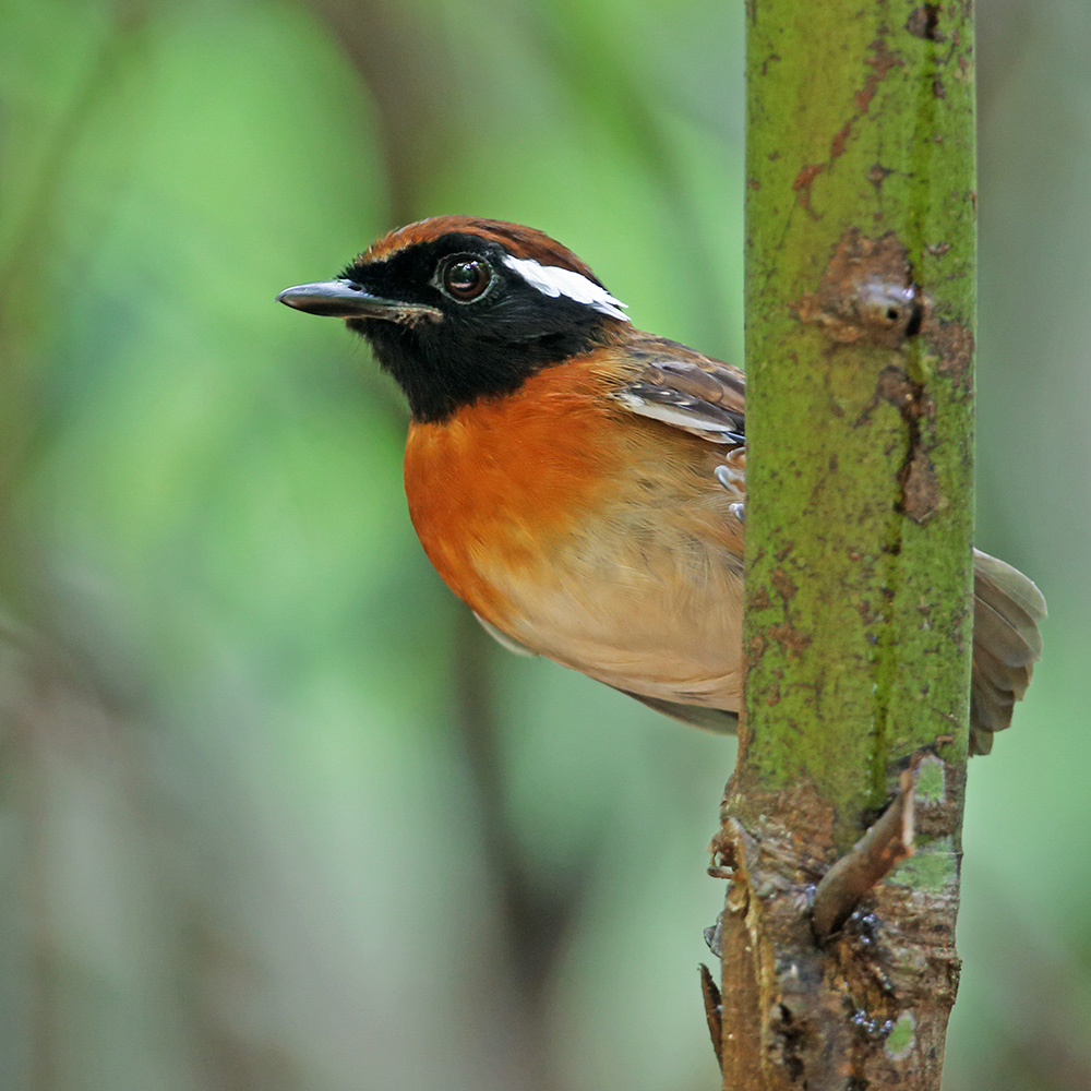 Manaus Vicinity & Presidente Figueiredo - Chestnut-belted Gnateater