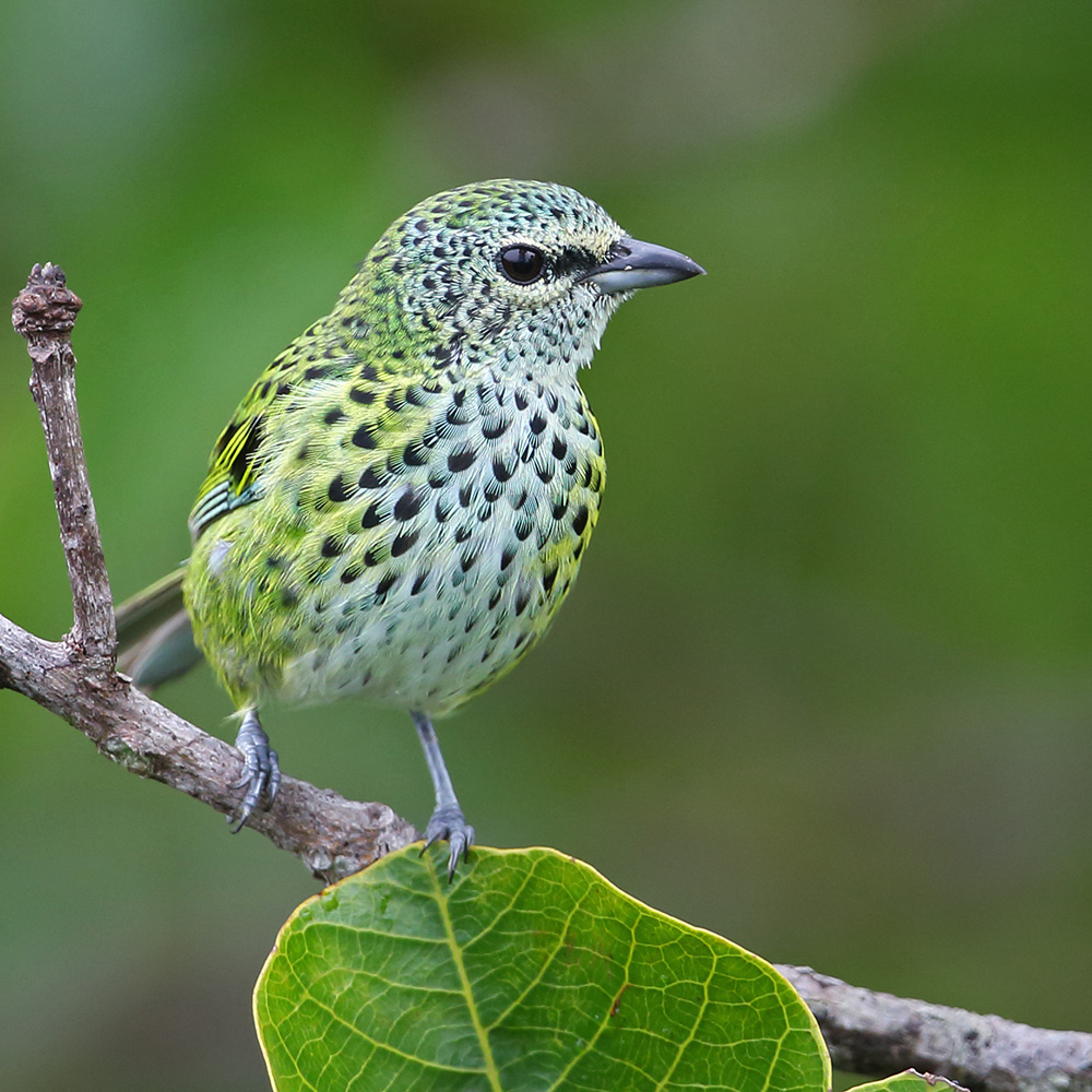 Manaus Vicinity & Presidente Figueiredo - Spotted Tanager