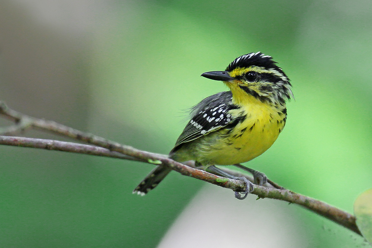 Manaus Vicinity & Presidente Figueiredo - Yellow-browed Antbird