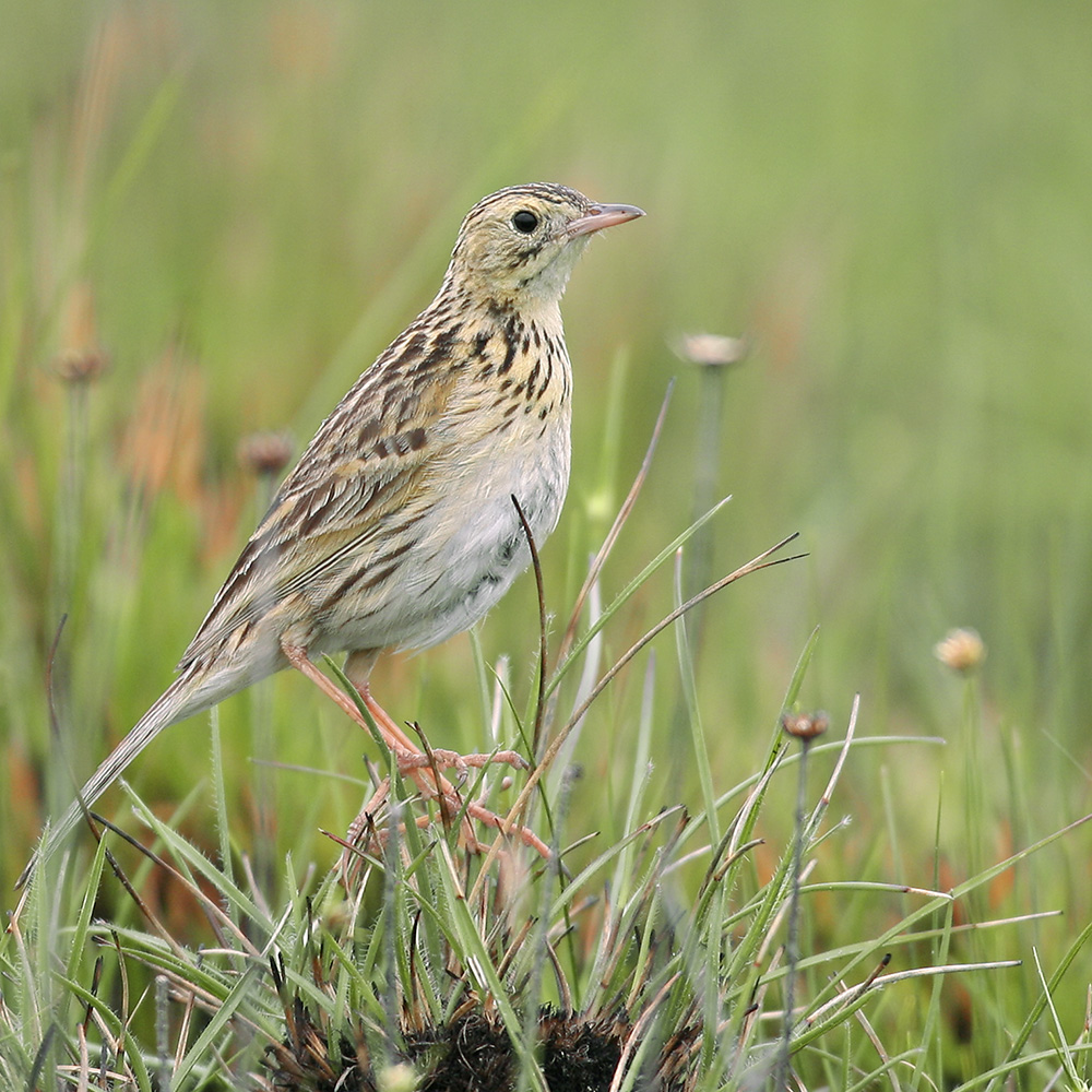 Minas Gerais States - Ochre-breasted Pipit