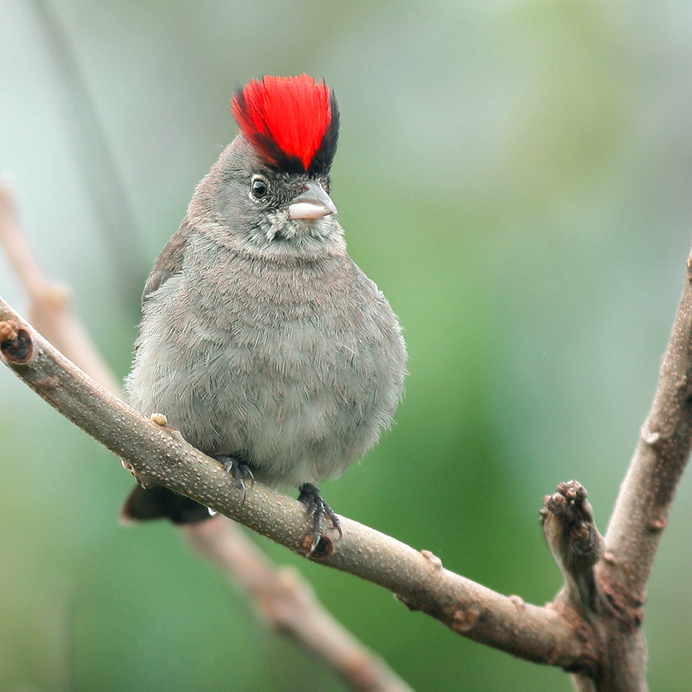 Minas Gerais States - Pileated Finch