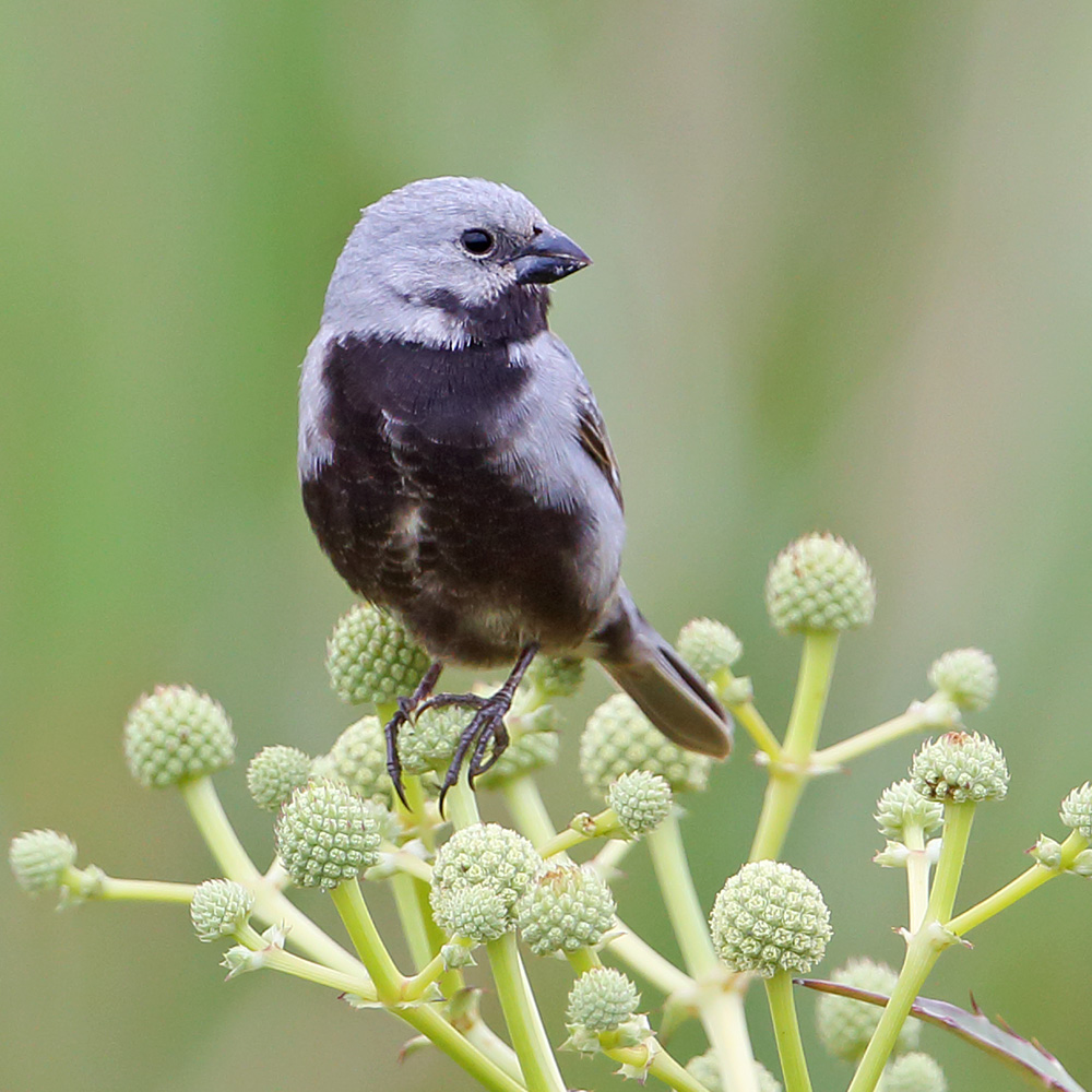 Rio Grande do Sul State - Black-bellied Seedeater