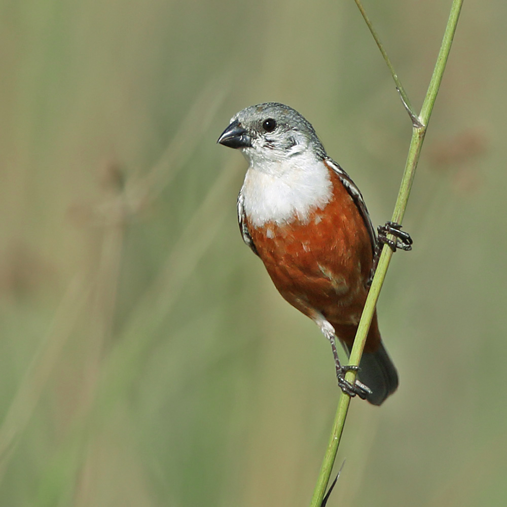 Rio Grande do Sul State - Marsh Seedeater