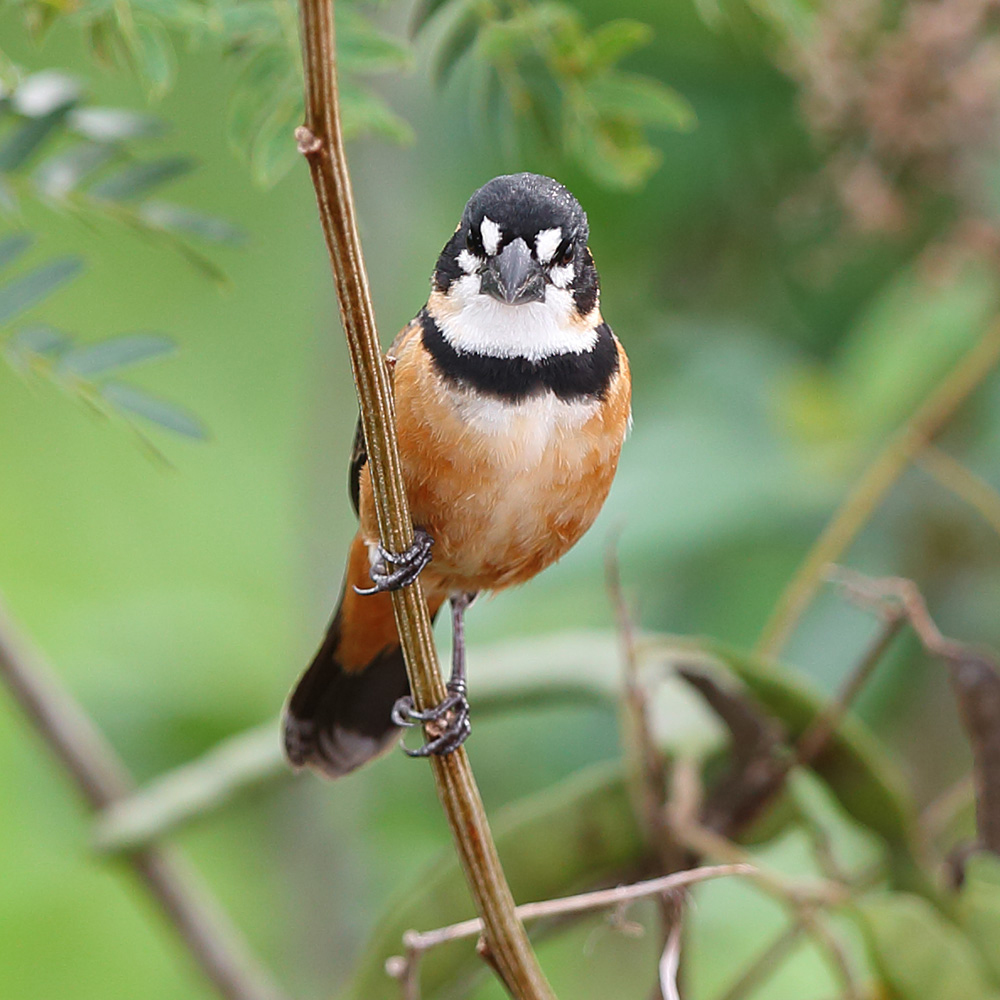 Rio Grande do Sul State - Rusty-collared Seedeater