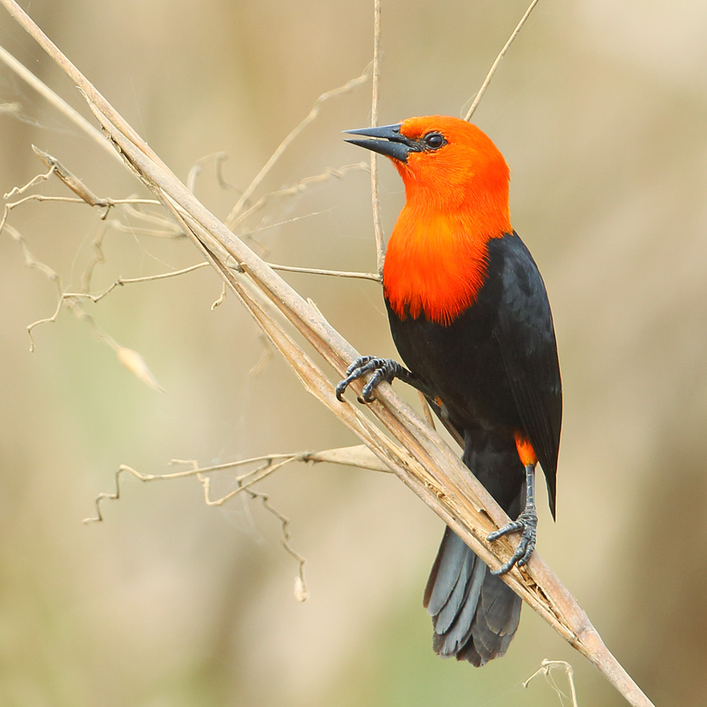 Rio Grande do Sul State - Scarlet-headed Blackbird