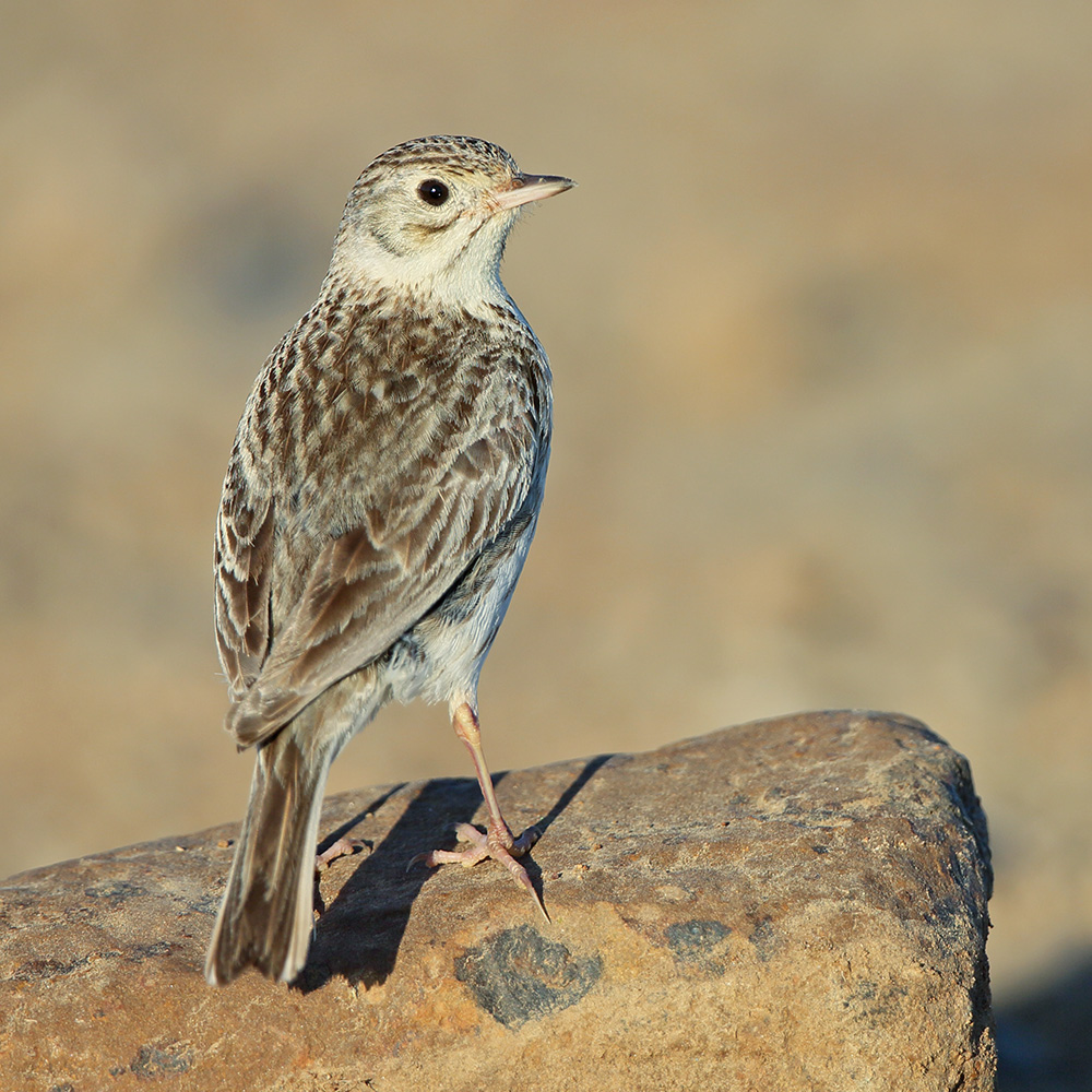 Rio Grande do Sul State - Short-billed Pipit