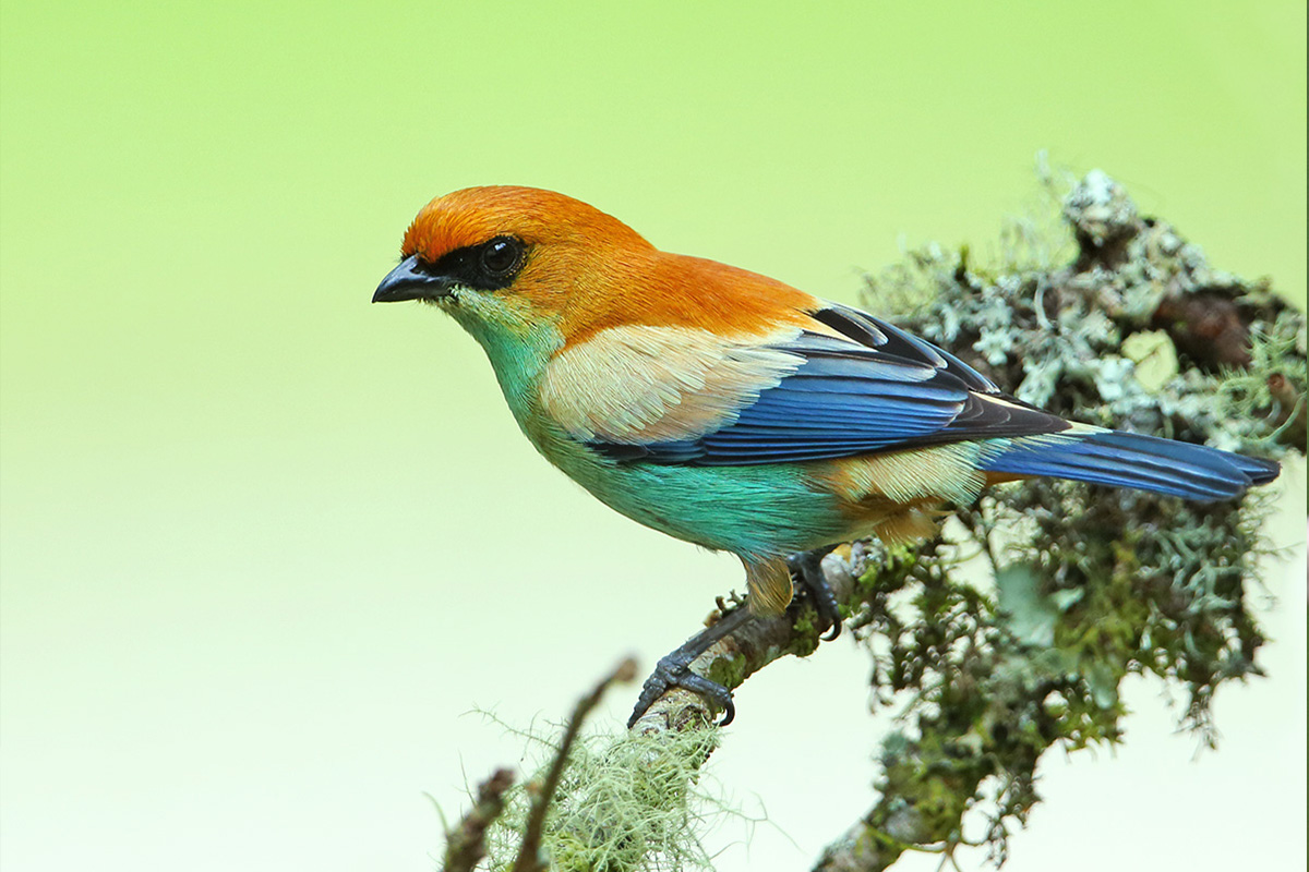 Rio Grande do Sul State - Chestnut-backed Tanager