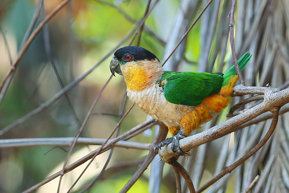 Roraima State - Black-headed Parrot