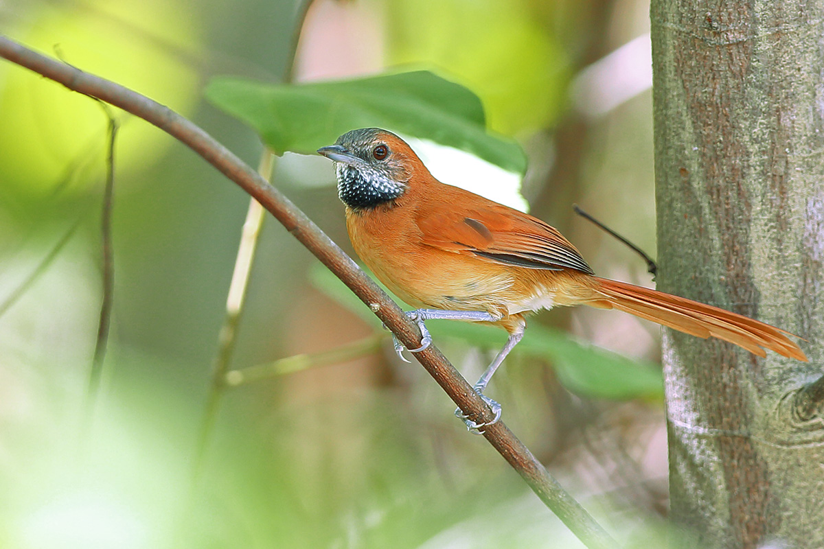 Roraima State - Hoary-throated Spinetail