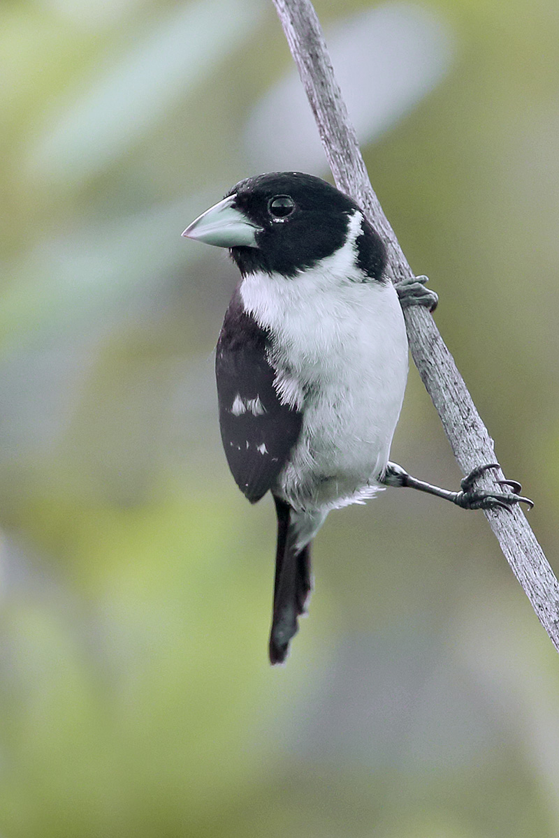 Roraima State - White-naped Seedeater