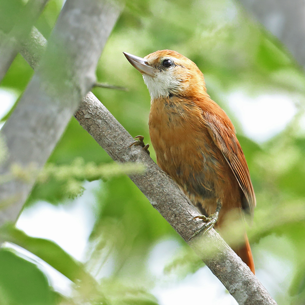 Southern Bahia State - Great Xenops