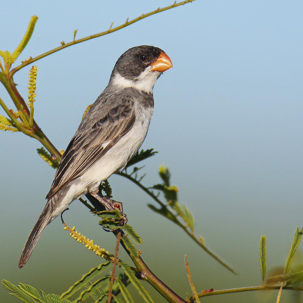 Southern Bahia State - White-throated Seedeater