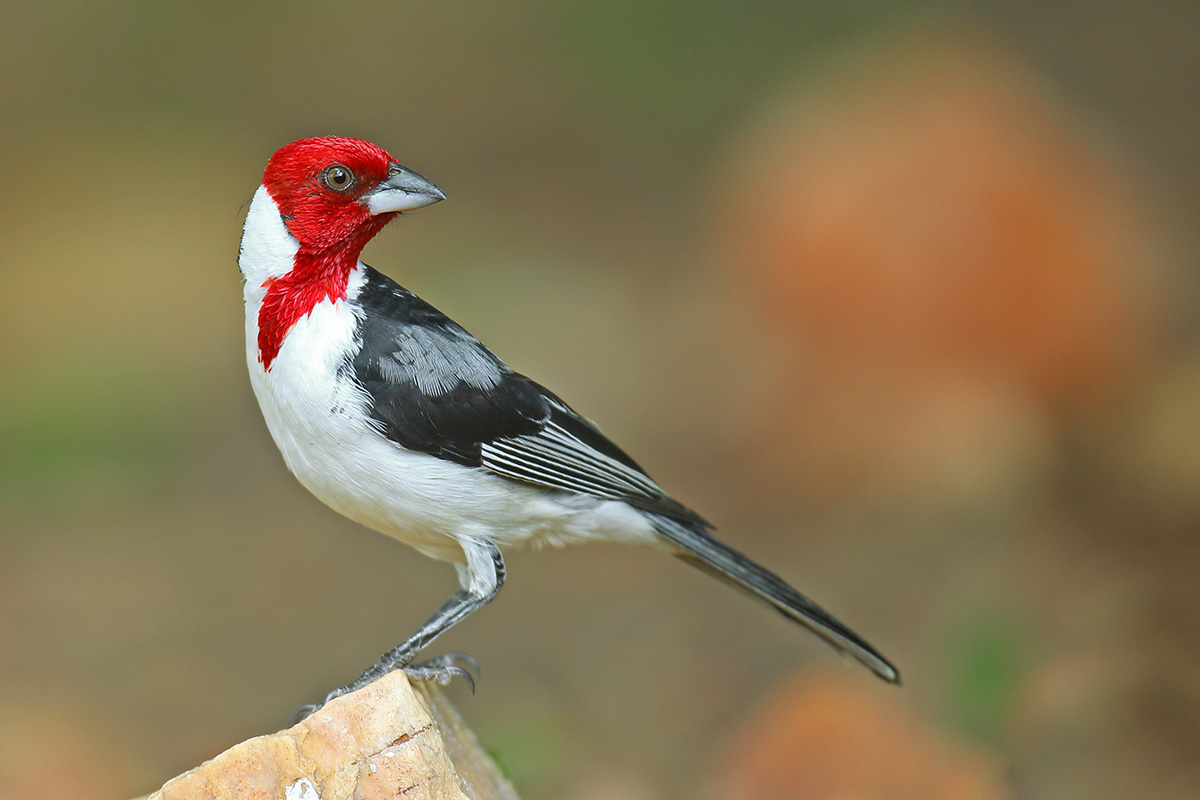 Southern Bahia State - Red-cowled Cardinal