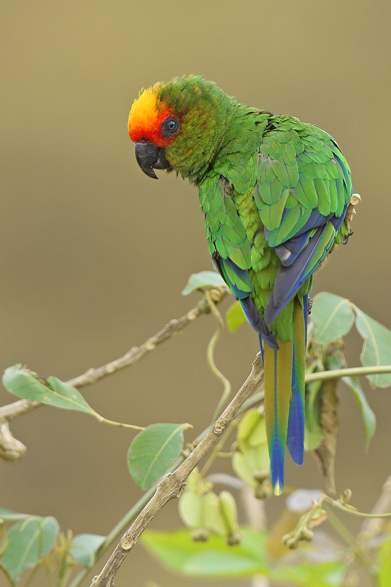 Southern Bahia State - Golden-capped Parakeet