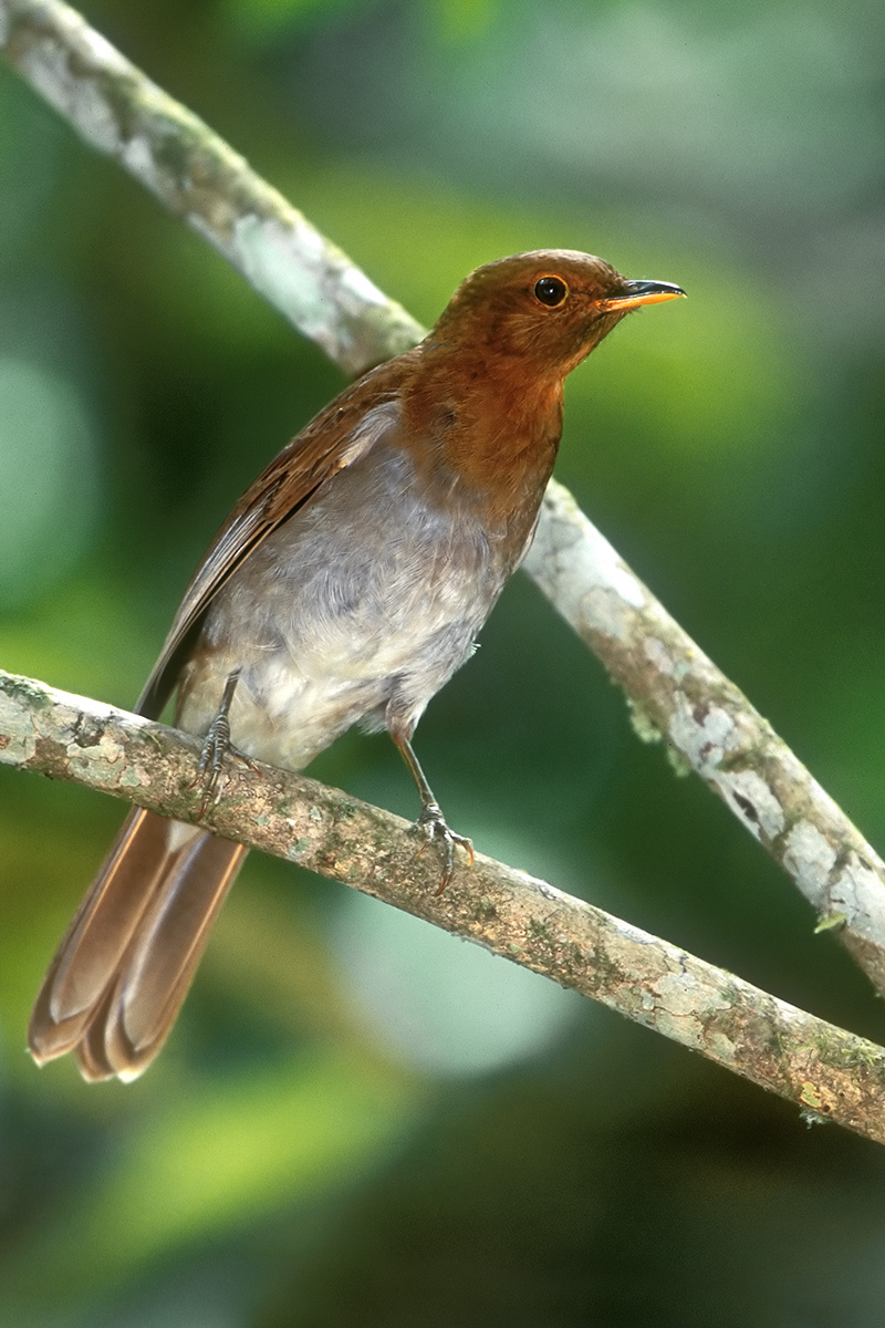 Southern Bahia State - Rufous-brown Solitaire
