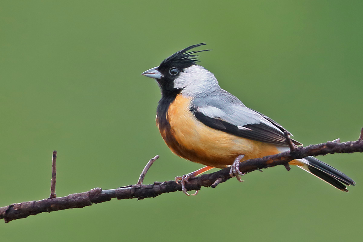 Southern Pantanal - Coal-crested Finch