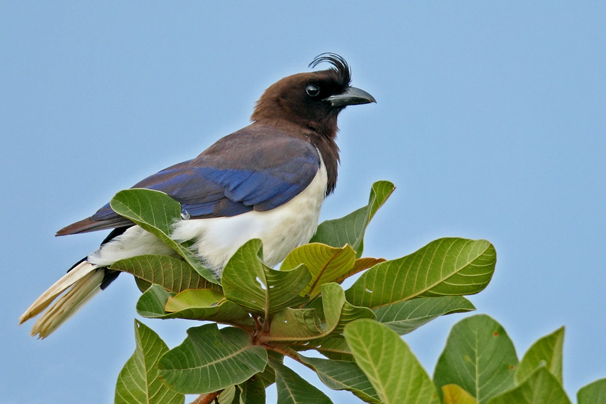 Southern Pantanal - Curl-crested Jay