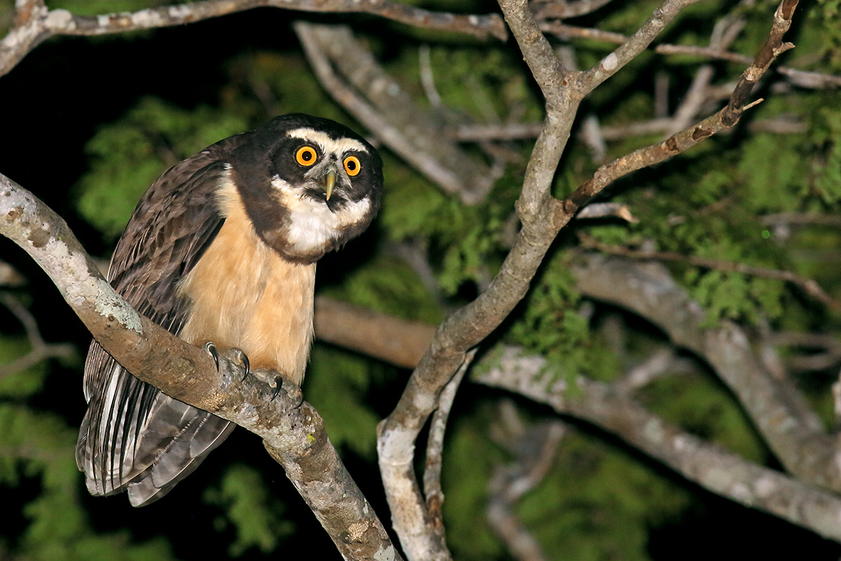 Southern Pantanal - Spectacled Owl