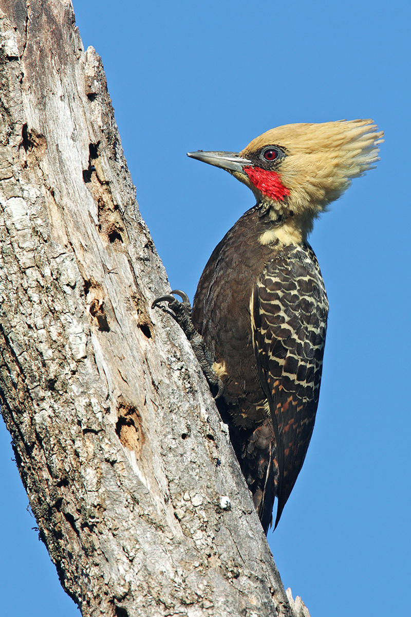 Southern Pantanal - Pale-crested Woodpecker