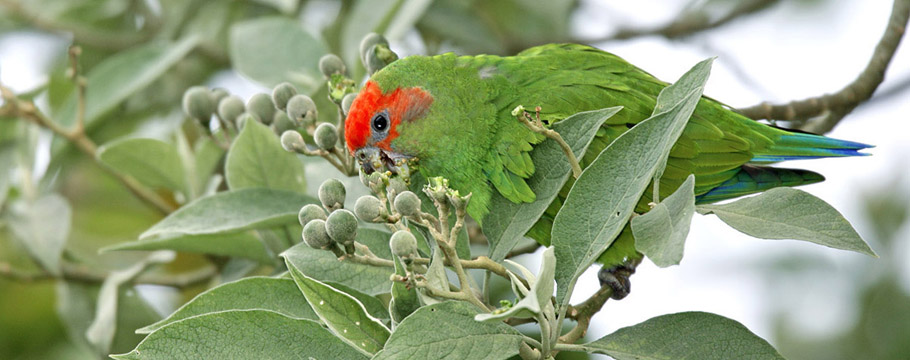 Intervales State Park - Red-capped Parrot