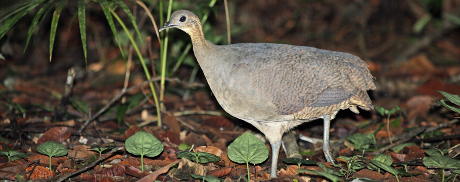 Intervales State Park - Solitary Tinamou