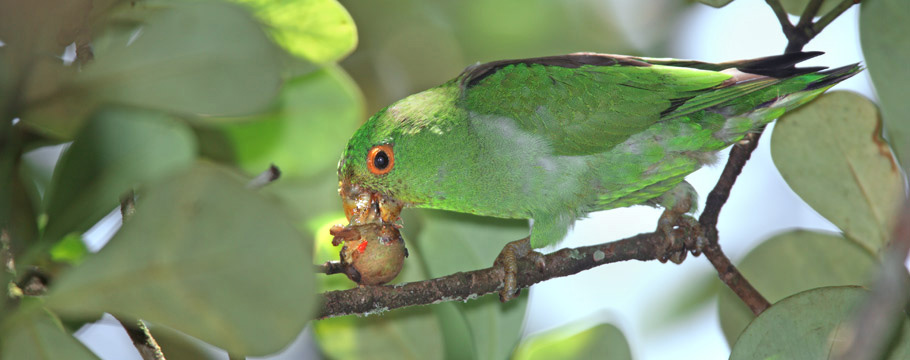 Ubatuba - Brown-backed Parrotlet