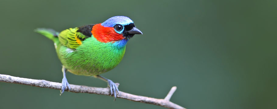 Ubatuba - Red-necked Tanager