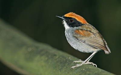 Ubatuba Black-cheeked Gnateater