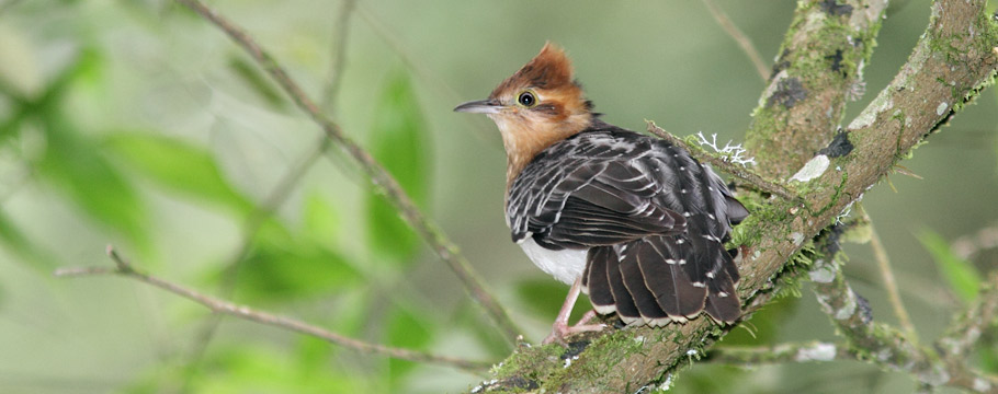 Bacury Forest Reserves - Pavonine Cuckoo