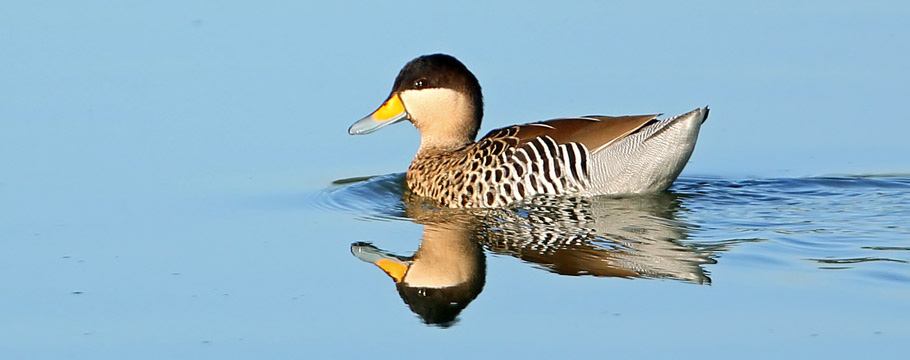 Bacury Forest Reserves - Silver Teal