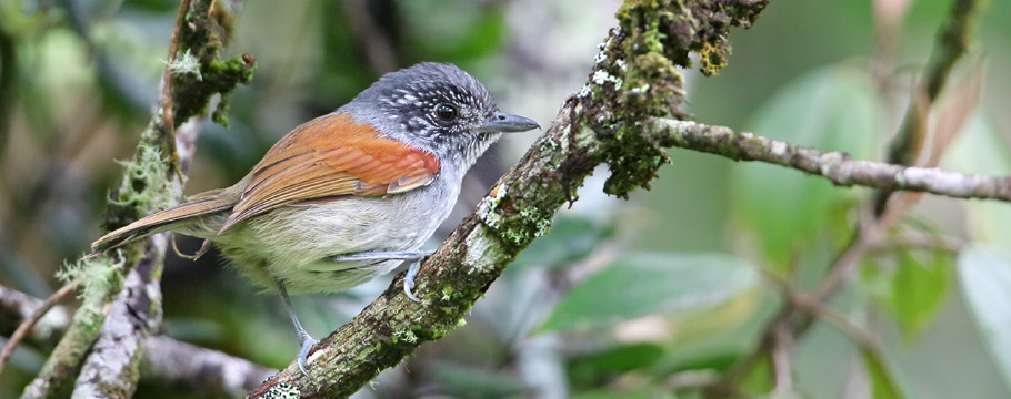 Itatiaia National Park - Rufous-backed Antvireo