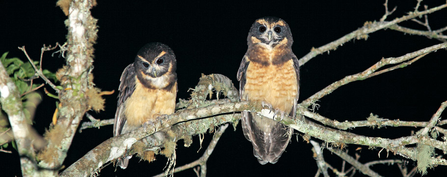 Itatiaia National Park - Tawny-browed Owl