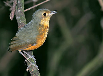 Itatiaia National Park Speckle-breasted Antpitta