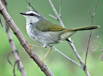 Serra da Canastra National Park White-striped Warbler