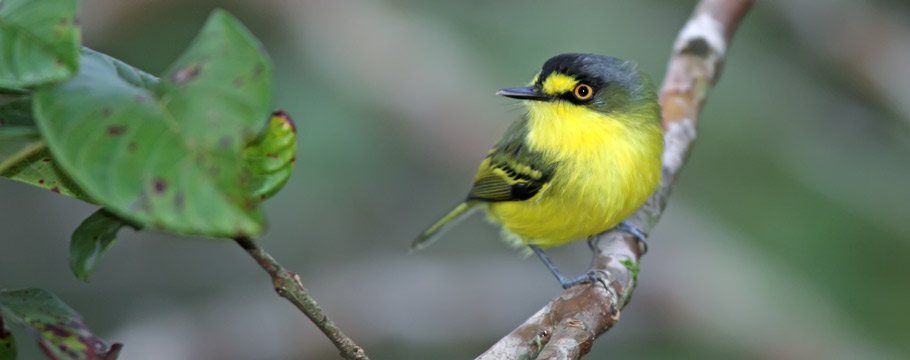 Serra do Caraça Reserve - Yellow-lored Tody-Flycatcher