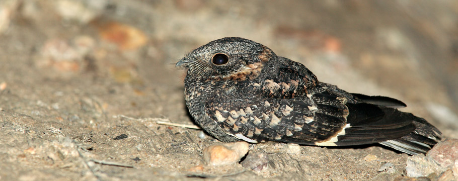 Serra do Cipó National Park - Band-winged Nightjar