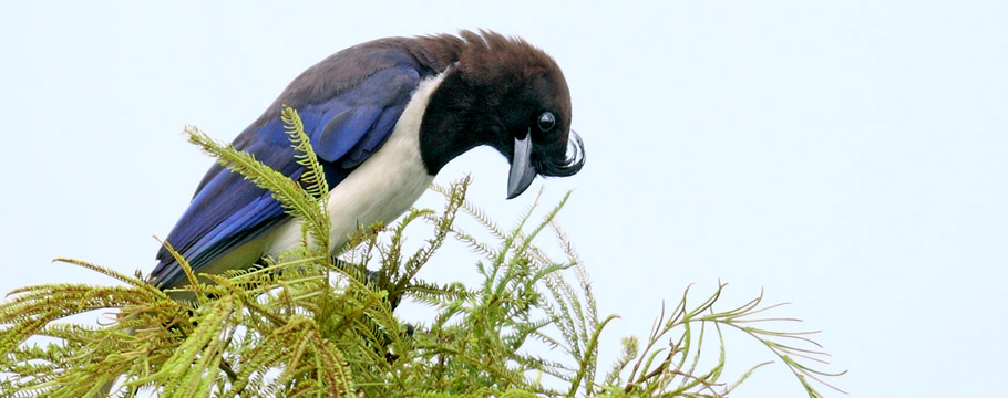 Emas National Park - Curl-crested Jay